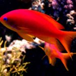Fauna Morza Czerwonego 23szkoła nurkowania kraków
