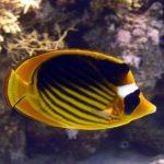 Fauna Morza Czerwonego 26szkoła nurkowania kraków