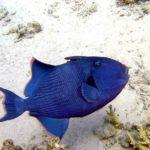 Fauna Morza Czerwonego 67szkoła nurkowania kraków