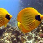 Fauna Morza Czerwonego 50szkoła nurkowania kraków