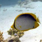 Fauna Morza Czerwonego 69szkoła nurkowania kraków
