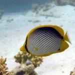 Fauna Morza Czerwonego 59szkoła nurkowania kraków