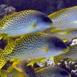 Fauna Morza Czerwonego 43szkoła nurkowania kraków