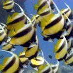 Fauna Morza Czerwonego 76szkoła nurkowania kraków