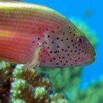 Fauna Morza Czerwonego 6szkoła nurkowania kraków
