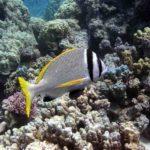 Fauna Morza Czerwonego 77szkoła nurkowania kraków