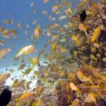 Fauna Morza Czerwonego 82szkoła nurkowania kraków