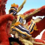 Fauna Morza Czerwonego 62szkoła nurkowania kraków