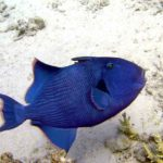 Fauna Morza Czerwonego 38szkoła nurkowania kraków