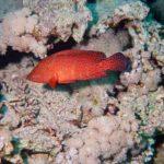 Fauna Morza Czerwonego 41szkoła nurkowania kraków
