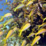 Fauna Morza Czerwonego 34szkoła nurkowania kraków
