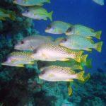 Fauna Morza Czerwonego 49szkoła nurkowania kraków