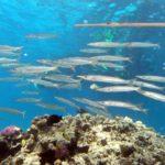 Fauna Morza Czerwonego 87szkoła nurkowania kraków