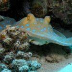Fauna Morza Czerwonego 64szkoła nurkowania kraków