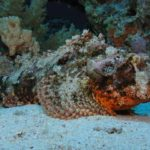 Fauna Morza Czerwonego 75szkoła nurkowania kraków