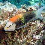 Fauna Morza Czerwonego 14szkoła nurkowania kraków
