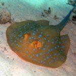 Fauna Morza Czerwonego 19szkoła nurkowania kraków