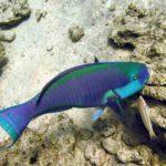 Fauna Morza Czerwonego 42szkoła nurkowania kraków