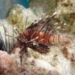 Fauna Morza Czerwonego 39szkoła nurkowania kraków
