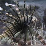 Fauna Morza Czerwonego 30szkoła nurkowania kraków