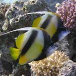 Fauna Morza Czerwonego 47szkoła nurkowania kraków