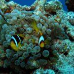 Fauna Morza Czerwonego 53szkoła nurkowania kraków